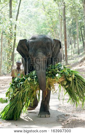 Elephant carries an armful of green under the supervision gadman at Kottoor Kappukadu Elephant Rehabilitation Centre, 24 October 2016, Kerala India
