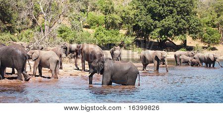 Manada de elefantes en riego, N.P. Chobe, Botswana