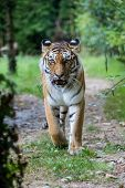 Постер, плакат: Amur Tiger Walking Along A Road In The Forest