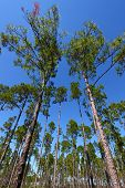 stock photo of saw-palmetto  - Landscape showing pine trees growing in flatwoods - JPG
