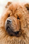 chow-chow dog portrait close up poster