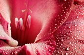 image of gladiola  - Red flower closeup - JPG