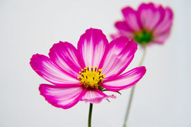 image of cosmos flowers  - a red and white cosmos flower  - JPG
