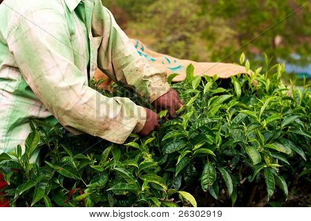 Tea plantation worker. Woman picking tea leaves in a tea plantation.
