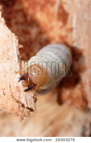 lesser stag beetle larva