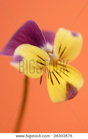 purple and yellow viola on orange