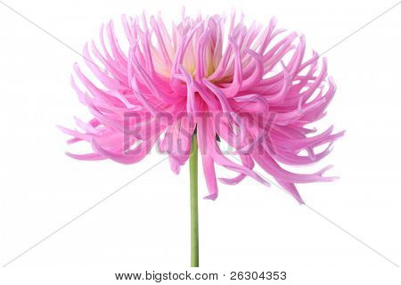beautiful pastel pink dahlia flower
