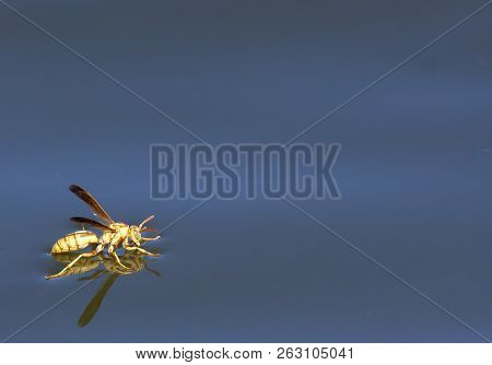 Wasp Drinking While Standing On