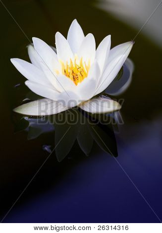 Detail of a beautiful waterlily