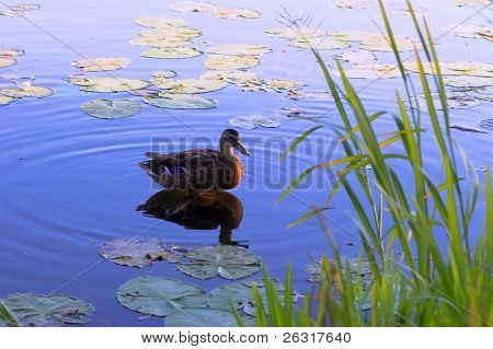 brown duck on surface of lake