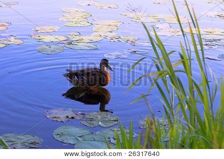 Pato marrón en la superficie del lago