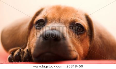 Dachshund puppy lay on red sofa
