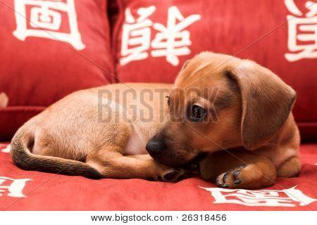 Dachshund puppy lay on red sofa