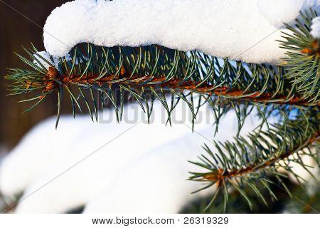 Snow on green fir branch