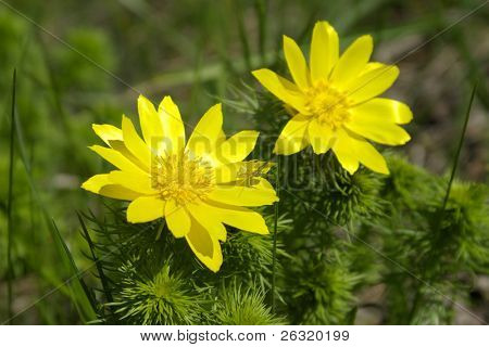 Spring yellow flowers of Adonis on green meadow