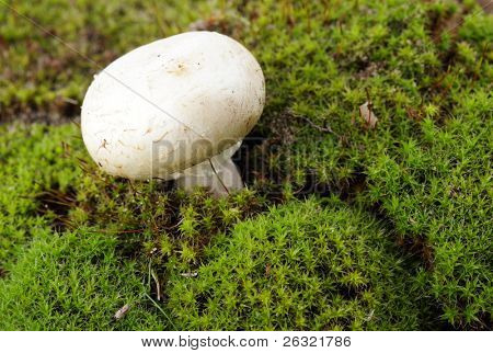 Portobello mushroom in the moss