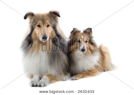 Shetland Dogs Sitting Down