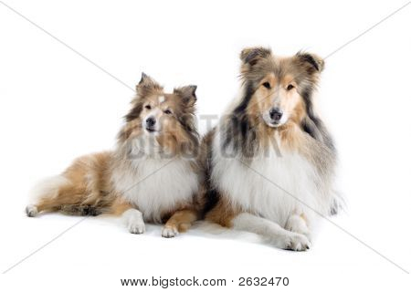 Lovely Shetland Dogs' Sitting Down