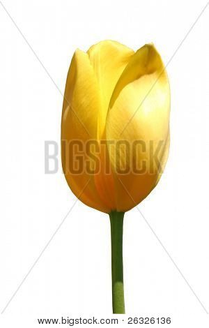 A tall yellow darwin tulip, isolated on white.