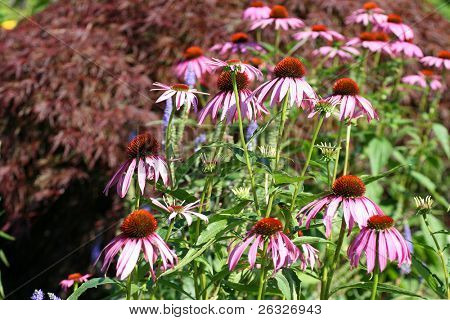 Echinacea, the important herb used to fight colds and to boost immunity, but also a lovely garden flower.