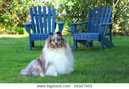 Blue merle Shetland Sheepdog sitting in the shade in the back yard.