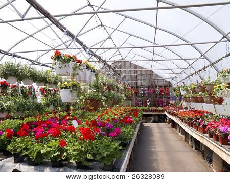 A greenhouse full of geraniums, hanging flowers and other flowering plants..
