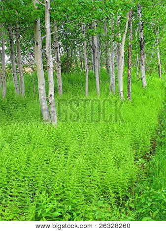 Fresh green ferns growing amongst aspen trees in the springtime forest.