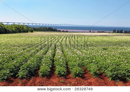 Rows of flowering potato plants in a potato field with the Confederation Bridge in the distant background.