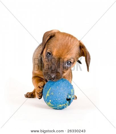 Little puppy of dachshung playing ball