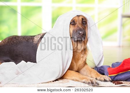 Dog, German shepherd in towel sitting inside