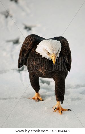 Eagle Going On Snow.