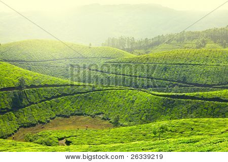 Tea plantations in morning fog landscape. Munnar, Kerala, India