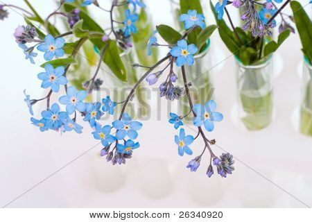 forget-me-not flowers in the test-tubes. Concept photo for biological research