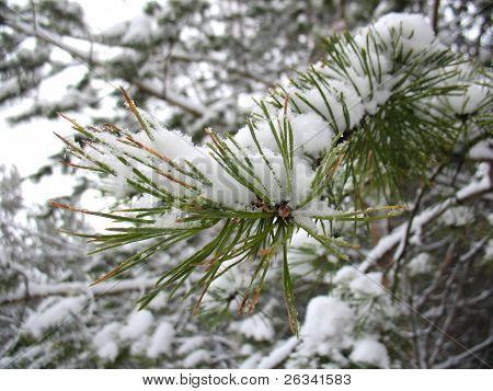 Winter Branch Of Fir