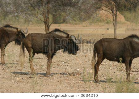 Toros de ñus