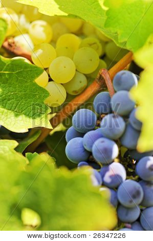 blue and yellow  grapes in the vineyard