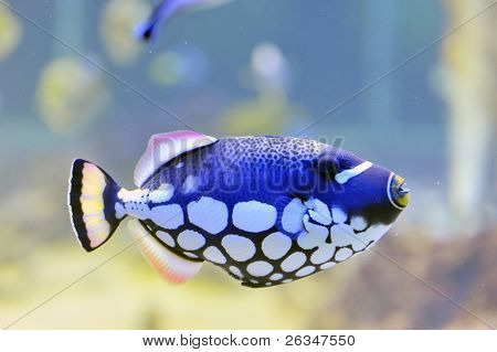 colorful butterfly-fish in a aquarium