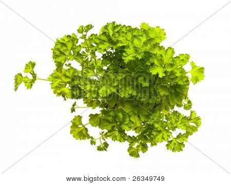 sapling