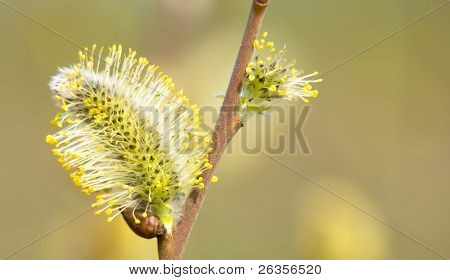 Goat Willow catkin