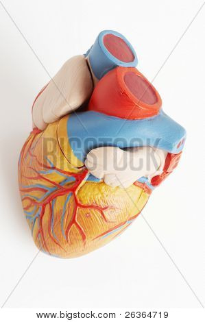 anatomically correct model of the human heart with ventricles and major vessels
