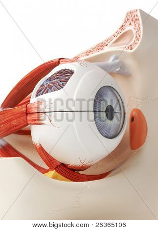 anatomically correct plastic model of an eye