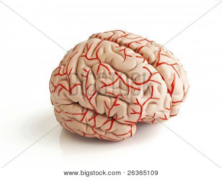 anatomically correct rubber model of the human brain