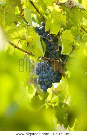 Weinberg; Rot Wein Grapes on the Vine bereit für Ernte