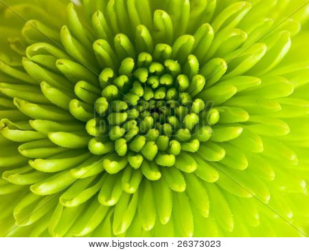 green chrysanthemum closeup