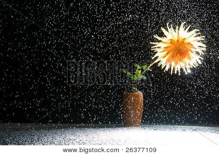 Shining flower dahlia gold crown in vase under the rain.