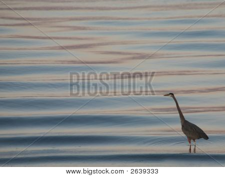 Stock Photo Of Great Blue Heron In San Diego Bay