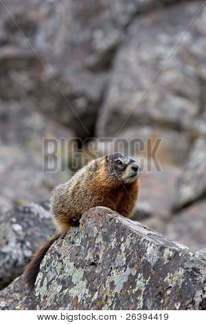 yellow-bellied marmot, a ground squirrel also commonly called a rockchuck and a close relative of the groundhog, perched on a rock in yellowstone national park, wyoming
