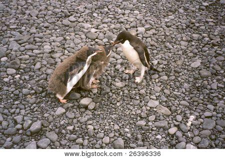 Adelie Penguin feeding chicks