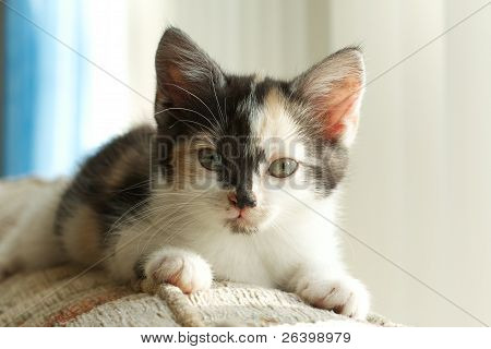 Cute Calico Kitten Portrait