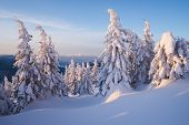 Snow covered spruce trees in mountain forest. Winter landscape in sunny morning. Snow drifts after s poster
